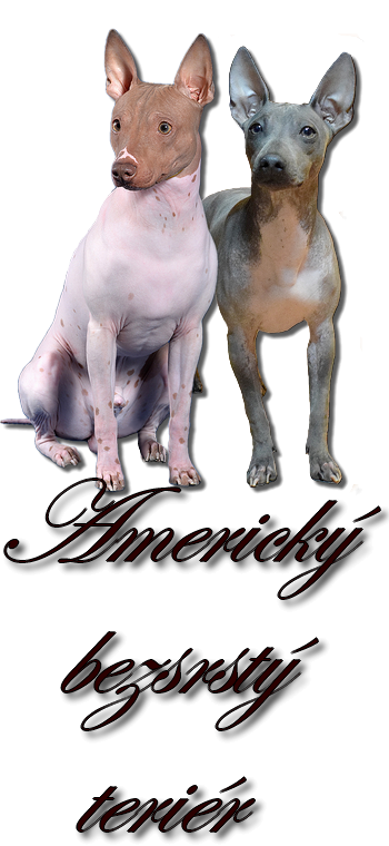 Americky bezsrsty terier/American Hairless Terrier